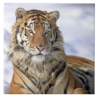 Siberian Tiger, Panthera tigris altaica, Asia, Tile
