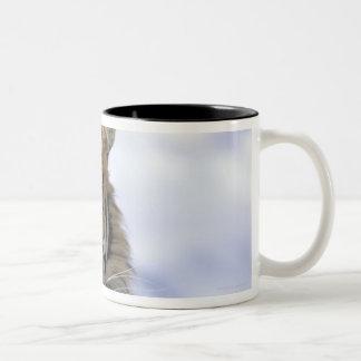 Siberian Tiger, Panthera tigris altaica, Asia Two-Tone Coffee Mug