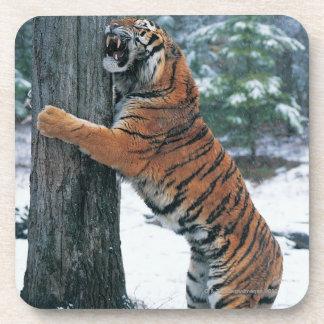 Siberian Tiger (Panthera tigris altaica) Coaster