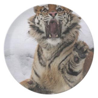 Siberian Tiger (Panthera tigris altaica) Party Plate