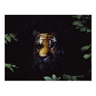 Siberian Tiger (Panthera Tigris Altaica) Peers Postcard