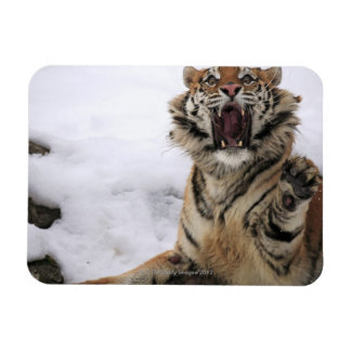 Siberian Tiger (Panthera tigris altaica) Rectangular Photo Magnet