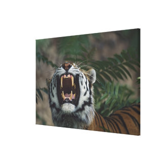Siberian Tiger (Panthera Tigris) Bares Fangs Canvas Print