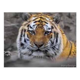 Siberian Tiger Photograph Postcard