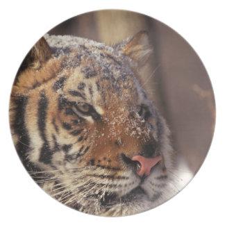 Siberian tiger plate