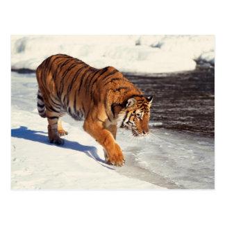 Siberian tiger postcard