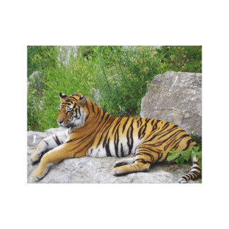 Siberian Tiger Relaxing on a Rock Canvas Print