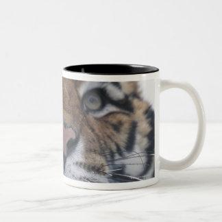 Siberian Tiger Snarling Two-Tone Coffee Mug
