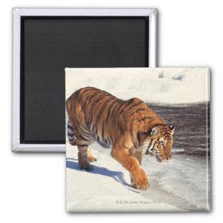 Siberian tiger square magnet
