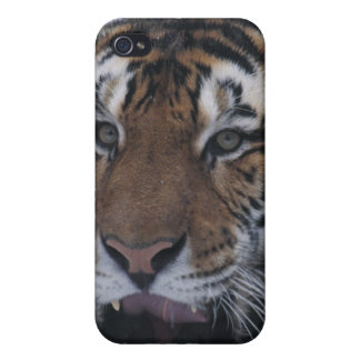 Siberian Tiger Yawning iPhone 4 Cases