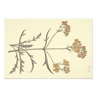 Siberian Valerian Botanical Illustration Photo Print