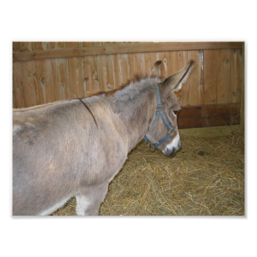 Side View of a Donkey at a County Fair Photo Print