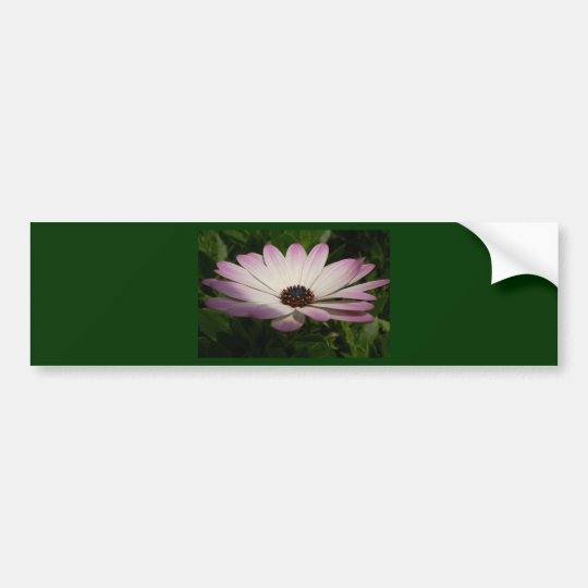 Side View of A Pink and White Osteospermum Bumper Sticker