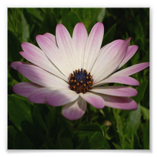 Side View of A Pink and White Osteospermum Photo