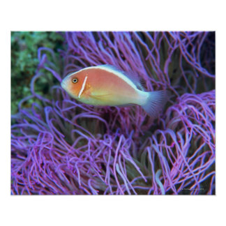 Side view of a pink anemone fish, Okinawa, Japan 2 Poster