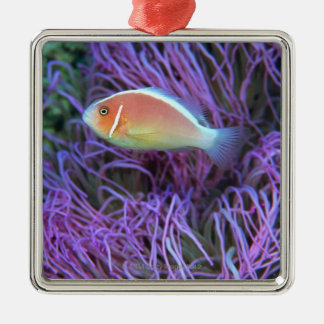 Side view of a pink anemone fish, Okinawa, Japan 2 Silver-Colored Square Decoration