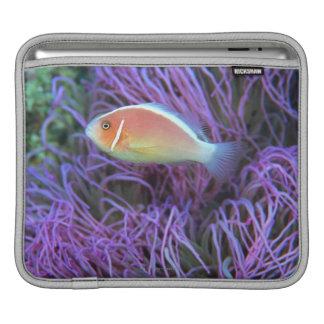 Side view of a pink anemone fish, Okinawa, Japan iPad Sleeve