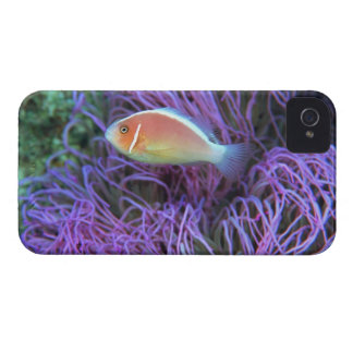 Side view of a pink anemone fish, Okinawa, Japan iPhone 4 Cases
