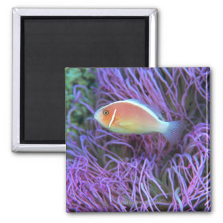 Side view of a pink anemone fish, Okinawa, Japan Magnet