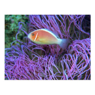 Side view of a pink anemone fish, Okinawa, Japan Postcard
