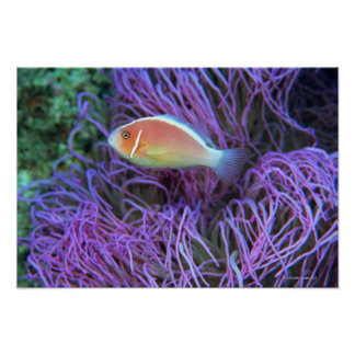 Side view of a pink anemone fish, Okinawa, Japan Poster