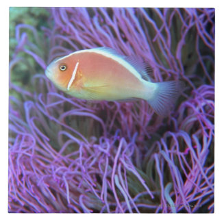 Side view of a pink anemone fish, Okinawa, Japan Tile