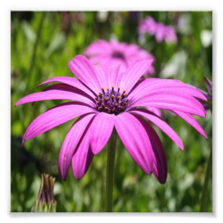 Side View Of A Purple Osteospermum With Garden Photo Print