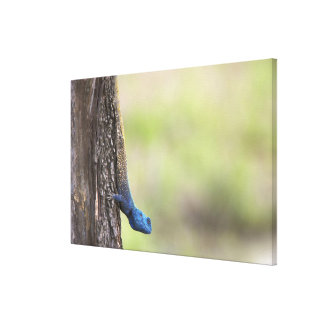 Side view of a Tree Agama (Acanthocerus Canvas Print