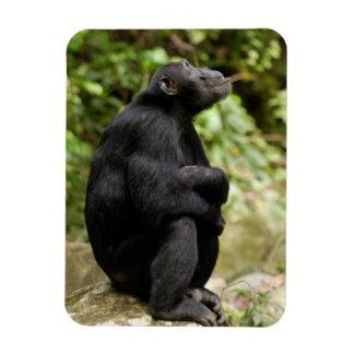 Side View Of Chimpanzee (Pan Troglodytes) Magnet