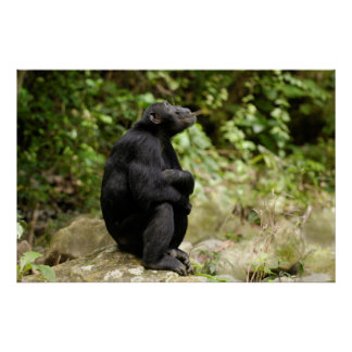 Side View Of Chimpanzee (Pan Troglodytes) Print