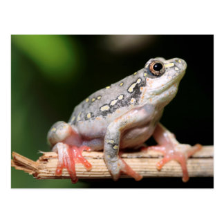 Side View Of Frog On Reed Postcard