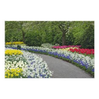 Sidewalk pathway through tulips and daffodils, photo print