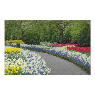 Sidewalk pathway through tulips and daffodils, photo print
