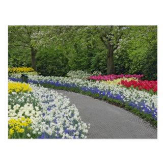 Sidewalk pathway through tulips and daffodils, postcard