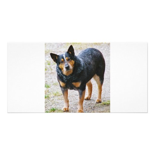 Sidney the Blue Heeler Picture Card