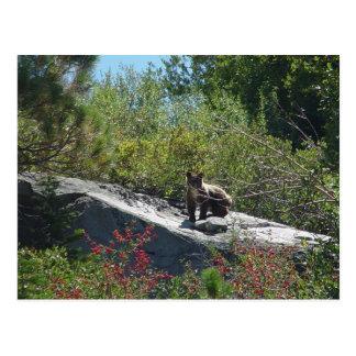 Sierra Bear Cub Postcard