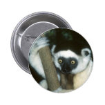 Sifaka (Lemur), Madagascar Pinback Button