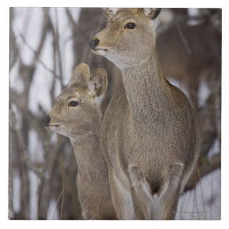 Sika Deer Doe and Young, Hokkaido, Japan Tile