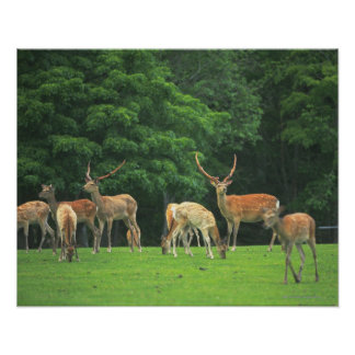 Sika deer standing in a clearing poster
