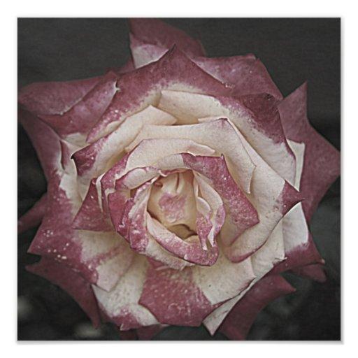 Silent beautiful rose photo art