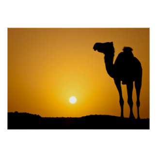 Silhouette of a wild camel at sunset poster