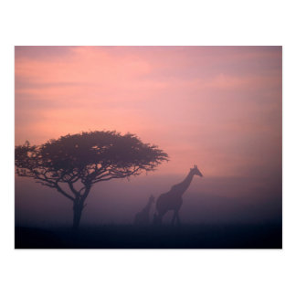 Silhouettes Of Giraffes Postcard