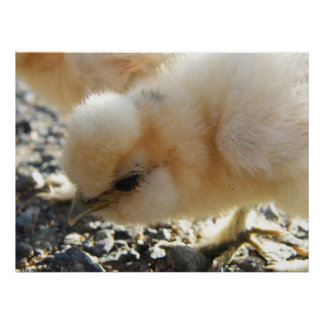 Silkie Chick Poster