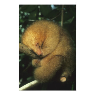 Silky Pygmy) Anteater, Cyclopes didactylus), Photograph