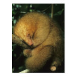 Silky Pygmy) Anteater, Cyclopes didactylus), Postcards
