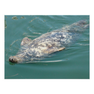Silly Cape Cod Seal Floating on Back Poster