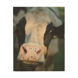 Silly Cow with Flies on his nose Wood Wall Art