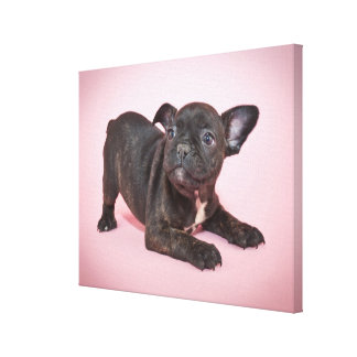 Silly French Bulldog Puppy Ready To Play Canvas Print