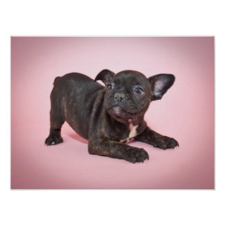 Silly French Bulldog Puppy Ready To Play Poster