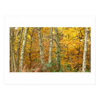 Silver Birch and Golden Sycamore Postcard